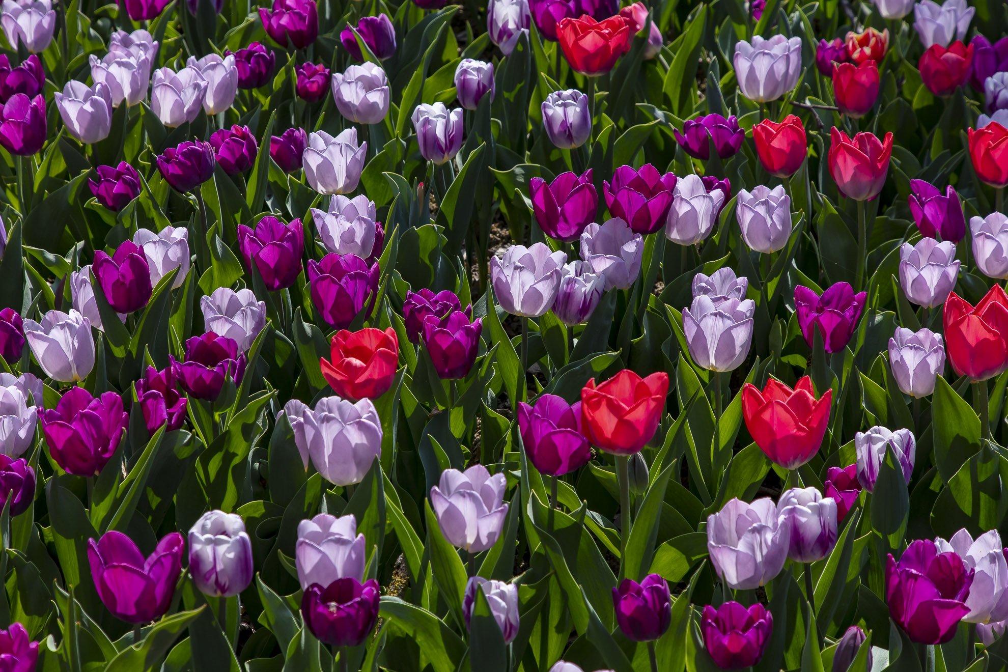 Pralormo_Tulipani_BP_7259