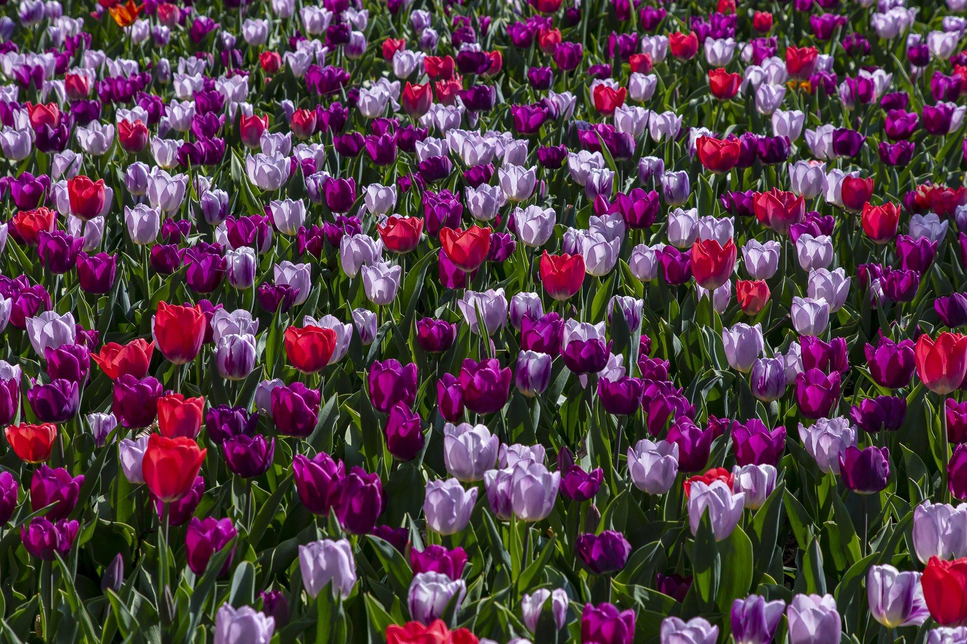 Pralormo_Tulipani_BP_7262